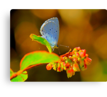 Holly Blue Butterfly, Baydale Beck, County Durham,England Canvas Print