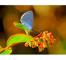 Holly Blue Butterfly, Baydale Beck, County Durham,England Photographic Print