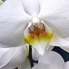 Beautiful Phalaenopsis by sstarlightss