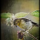 Lesser Goldfinch  by Saija  Lehtonen