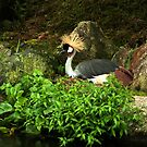 Grey Crowned Crane breeding in the rain by steppeland