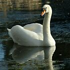 Graceful swan swimming on lake in winter by John Butterfield