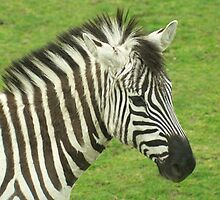 head and shoulders portrait of a zebra on a grassy background by John Butterfield