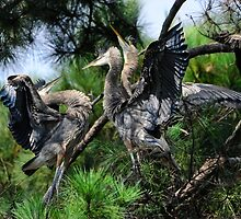 Aroused Great Blue Heron Juveniles by Joe Jennelle