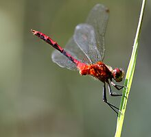 Ruby Meadowhawk by Chris Richards