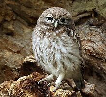 Little owl  by Dean   Eades