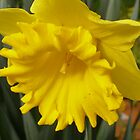 &#x27;A TINY TRUMPET WITHIN!&#x27; King Alfred Daffodil. by Rita Blom