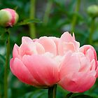 Coral Pink Peony by Gary Chapple