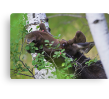 Young bull moose is back for dinner Canvas Print