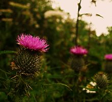 Scottish Thistle.  by Mbland