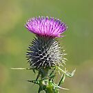 Spear Thistle by Margaret S Sweeny