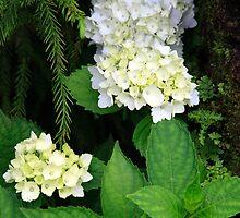Hydrangea blooming by Gaspar Avila