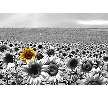 Sunflower Field Photographic Print