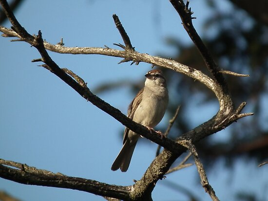 Chirpping Sparrow Framed by Limbs by Deb Fedeler