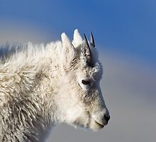 Mt Goat Portrait 2 by kurtbowmanphoto