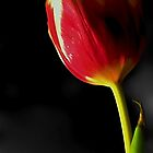 *Tulip in the Mist* by DeeZ (D L Honeycutt)