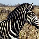 Burchell's Zebra - Kruger National Park by Bev Pascoe