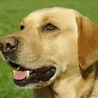 Labrador retriever (yellow / golden) by John Butterfield