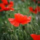 Field of Remembrance by Richard Haigh