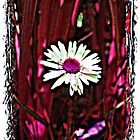 A Daring Red Daisy by mairead62