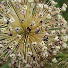 Allium Plant  by karina5