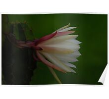 My mother cactus in bloom Poster