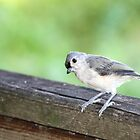 A Curious Titmouse by mhm710