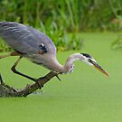 Great Blue Heron Hunts for Prey. by Daniel Cadieux