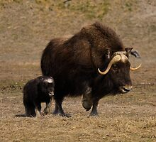 Mama and Baby - Musk Ox by Melissa Seaback