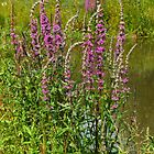 Lythrum salicaria......Purple LooseStrife  by AnnDixon