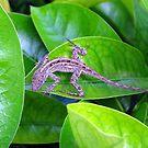 Juvenile Cuban Anole Lizard - Florida by Glenn Cecero