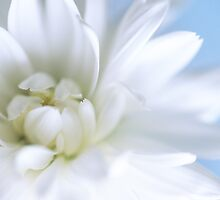 White Chrysanthemum in close-up by Catherine Hoggins