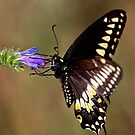 Swallowtail Butterfly by Jim Cumming