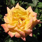Joyous Rose by BlueMoonRose
