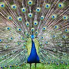 Peacock by SanJanPhotos