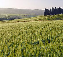 Tuscan Wheat by Tom Allen