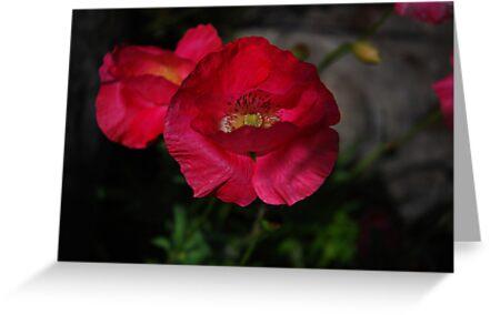 Poppies by jodi payne