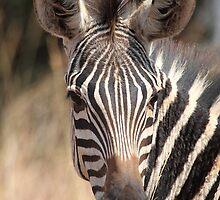 Plains Zebra Portrait #2, Akagera National Park, Rwanda.  by Carole-Anne