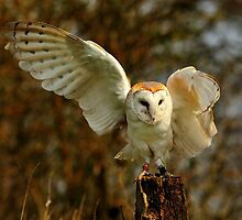 Barn Owl Waving by Norfolkimages