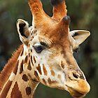Giraffe - Taronga Western Plains Zoo Dubbo by Darren Stones