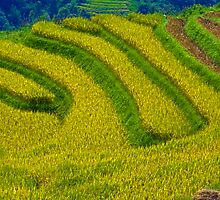 Rice Terrace. by bulljup