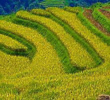 Rice Terrace. by bulljup