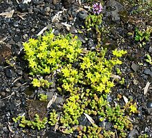 Stonecrop and wild thyme. by Heather Goodwin