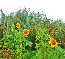Sunflowers Playing Hide-and-seek Behind the Tall Grass - Ardingly by Matthew Floyd