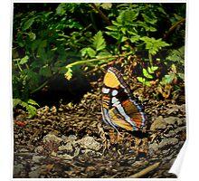 California Sister Butterfly ~ Adelpha bredowii ~  Poster
