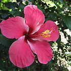 pink hibiscus by machka