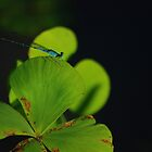 Beni Damselfly - Bolivia by Jason Weigner