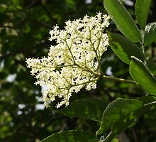 Elderflower by shane22