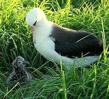 baby and mother hawaii albatross by up-front