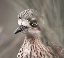 Peek-a-boo ... Bush Stone-curlew by mosaicavenues
